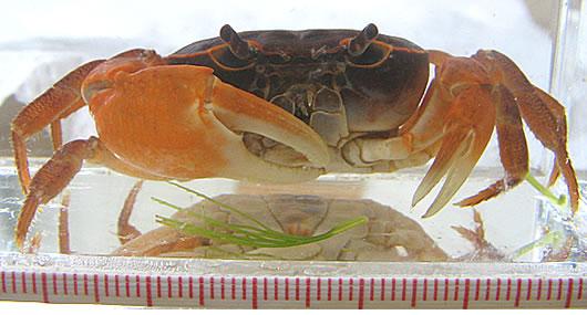 f_crab1.jpg